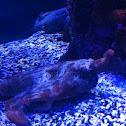 Shortnose batfish