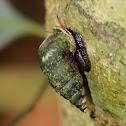 Tortulosa snail