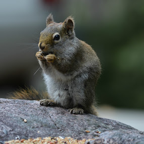 squirrel  by Char Robertson - Animals Other ( red, nibble, seeds, brown, squirrel )