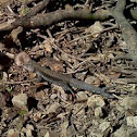Puerto Rican Ground Lizard
