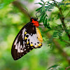 female birdwing (common green birdwing)