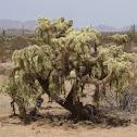 Devil Cholla Cactus