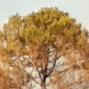 Evergreen conifer