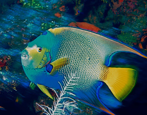 Cayman-Islands-Queen-Angel-Cobalt-Coast - A Queen Angelfish off the Cobalt Coast of Grand Cayman Island.