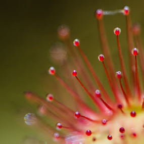 Drosera art by Виктория Нарчук - Flowers Flowers in the Wild ( drosera, flower )