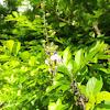 Verbenaceae Duranta