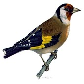 Singing Goldfinch to educate