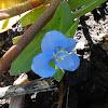 Swamp Dayflower