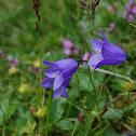 Fairy Thimble Bellflower