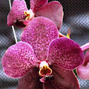 Moth Orchid hybrid