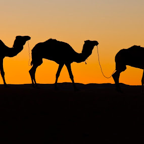 Camels at sunset in the Sahara. by Gale Perry - Animals Other ( views, lifestyle, travel, landscapes, people, light, culture,  )