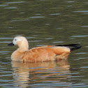 Brahminy Duck (Ruddy Shelduck)