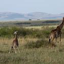 Maasai Mara Giraffe?