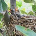 american robin chicks