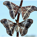 Ailanthus Silkmoth ~Male & Female