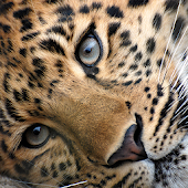 Big Cats Live Wallpaper