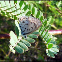 Black-bordered Babul Blue (Thorn-tree Blue)