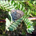Black-bordered Babul Blue (Thorn-tree Blue)