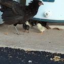 chicks & hen