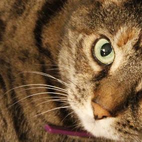 Taz - Pretty Kitty by Frank Gualtieri - Animals - Cats Portraits ( #GARYFONGPETS, #SHOWUSYOURPETS,  )