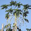Papaya silvestre, wild papaya