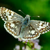 Common Checkered Skipper-Butterfly