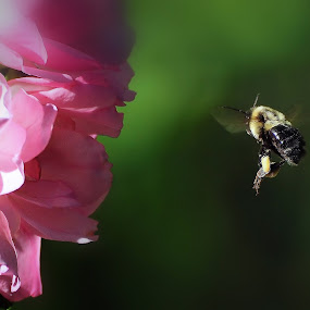 The Journey by Liz Crono - Animals Insects & Spiders ( flight, bees, flowers )