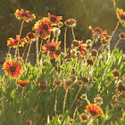 Indian blanket flower