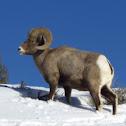 Rocky Mountain Bighorn sheep