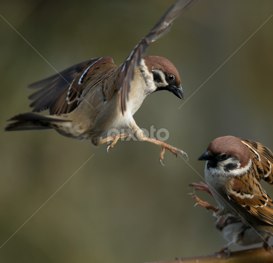 passer sparrow by Dragomir Taborin - Animals Birds