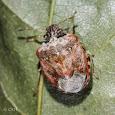Stink bugs of Oregon