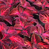 Stained glass coleus