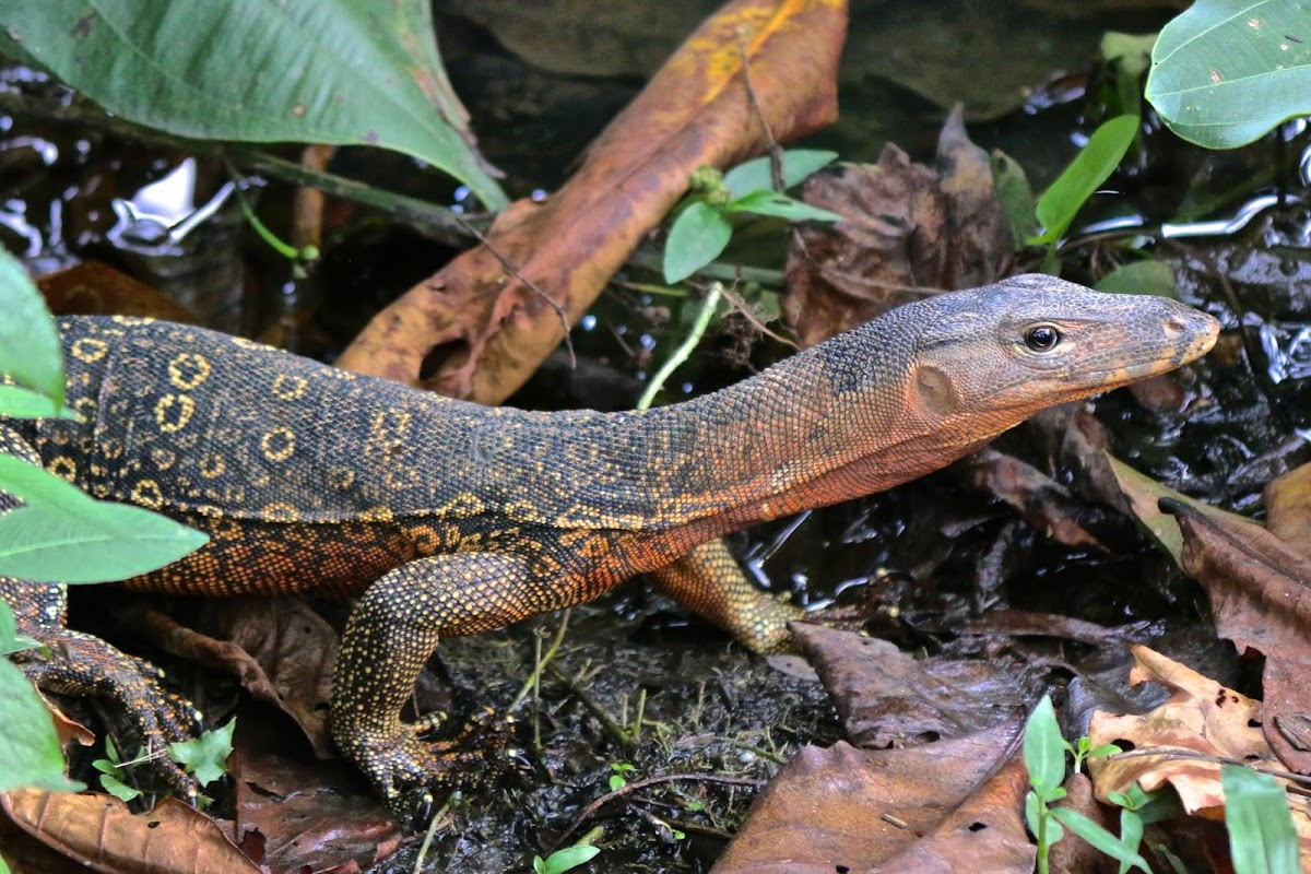 South East Asian Water monitor
