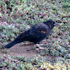 Red-winged Blackbird (juvenile male)