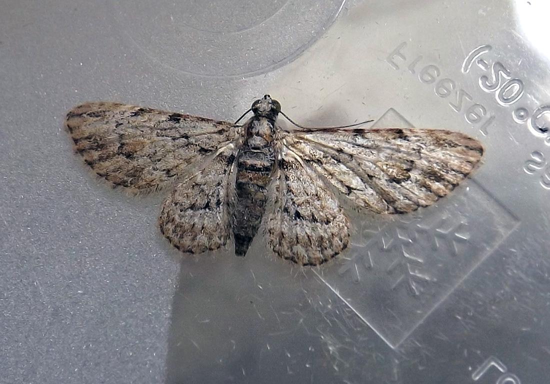 Insigillated Carpet (moth)