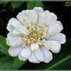 White Zinnia Flowers