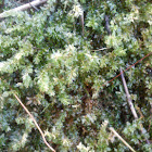 Clear Moss