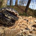 Black king snake