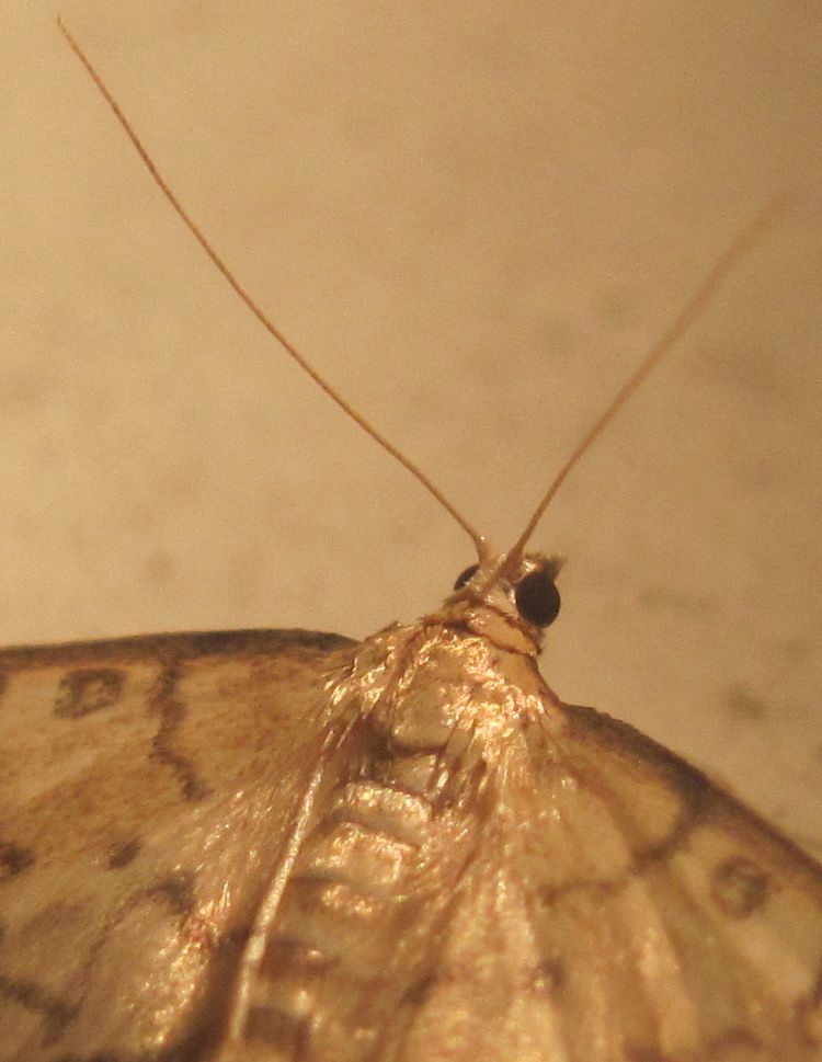 Hollow-spotted Blepharomastix