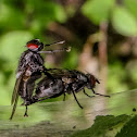 House Fly or Flesh fly