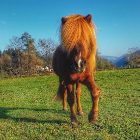 The Icelandic Horse by Maja Radevski - Animals Horses