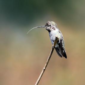Tongue Tied by Lynne McClure - Animals Birds ( bird, tongue, nature, hummingbird,  )
