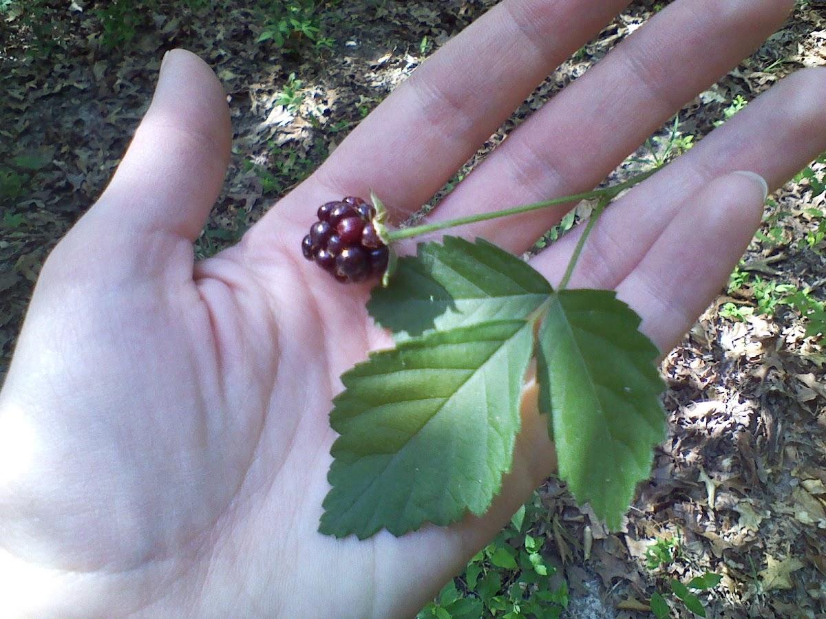 Wild black raspberry