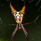 Arrow-shaped Orb-weaver Spider