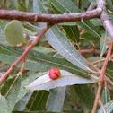 Wasp larvae gall