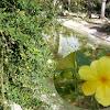 Jasminum meznyi. Jazmín amarillo