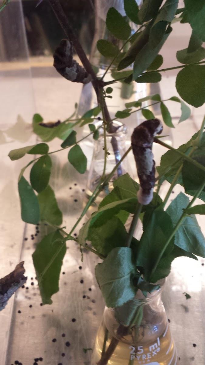 Giant Swallowtail (caterpillar and chrysalis)