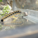 Eastern Tent Caterpillar-Moth