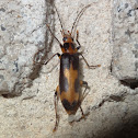 False Blister Beetle
