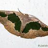 Geometridae, Ennominae,